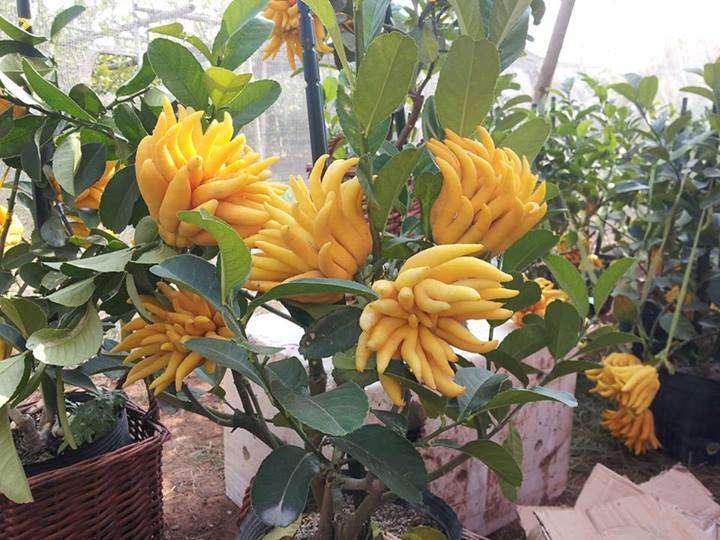 bonsai phat thu