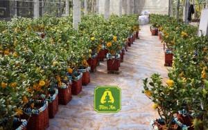 Phật thủ bonsai cháy hàng bán Tết