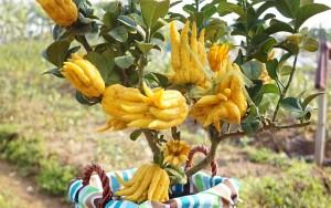 Cây Phật thủ Thịnh Vượng – Từ 09 đến 11 quả