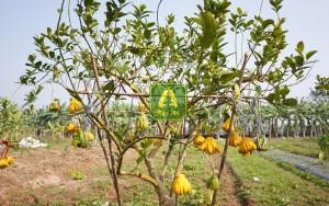 Cây Phật thủ Trường Thọ – Từ 18 đến 25 quả