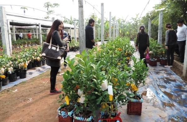 Du khách tới thăm vườn phật thủ với mong muốn sớm chọn cho mình những sản phẩm ưng ý