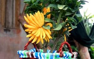 Phật thủ bonsai giá 15 triệu có gì đặc biệt?