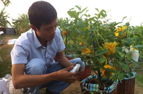 """Phật thủ bonsai của Tạ Tùy Duy đang được """"đóng hộp"""" chuẩn bị xuất ra thị trường Tết."""