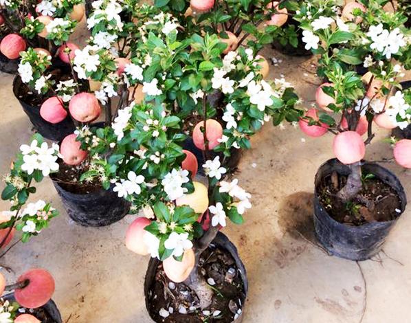 bonsai tao canh
