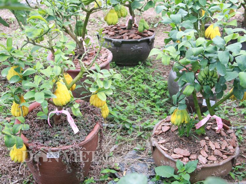 Ngoài các cây phật thủ bonsai chính hiệu, anh Duy và nhóm của mình còn nghiên cứu và tạo ra 200 gốc phật thủ ghép.