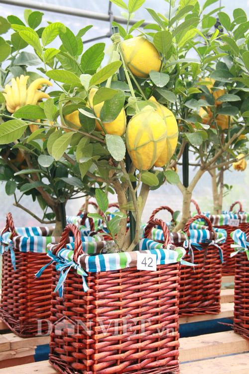 Nhiều cây còn được ghép thêm những loại quả khác như chanh.