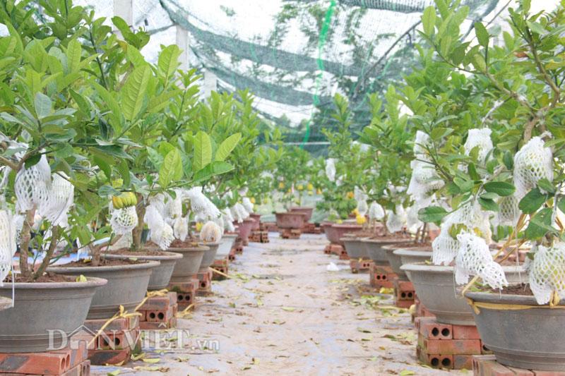 Những chậu cây Phật thủ bonsai như vậy có giá dao động từ 2-4 triệu đồng, những cây to, thế đẹp được bán với giá 8-10 triệu.
