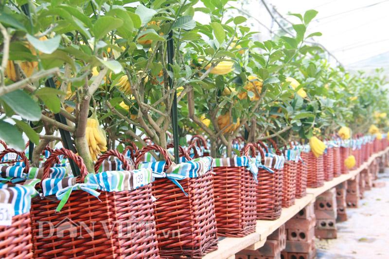 Phật thủ bonsai có chiều cao khoảng 50cm với từ 4-9 quả chín vàng mọng bằng nắm tay.