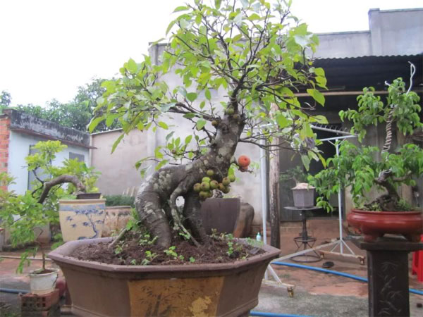 sung bonsai
